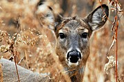 Hiding Framed Prints - Shy Doe Framed Print by Larry Ricker