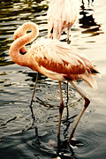 Sea Animals Art - Shy Flamingo by Anthony Citro