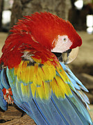 Parrot Metal Prints - Shy Parrot Metal Print by Joe  Palermo