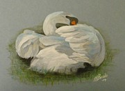 Tersia Brooks Prints - Shy swan Print by Tersia Brooks