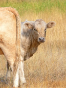 Calf Photo Posters - Shy White Calf Poster by Jennie Marie Schell
