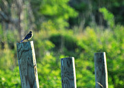 Sialia Sialis Metal Prints - Sialia sialis Eastern Bluebird Metal Print by Rebecca Sherman