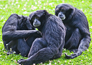 Gibbon Framed Prints - Siamang gibbon Framed Print by Gabriela Insuratelu