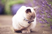 Sitting Photos - Siamese Cat by Sasha Bell