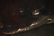 Scott Hovind - Siamese Crocodile 1