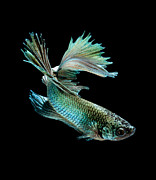Betta Art - Siamese Fighting Fish On Black Background by Visarute Angkatavanich