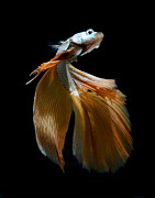 Betta Art - Siamese Fighting Fish by Visarute Angkatavanich