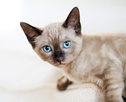 Looking At Camera Art - Siamese Kitten by Cindy Loughridge