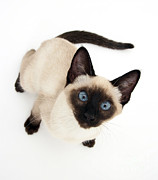 Cat Portraits Prints - Siamese Kitten Print by Jane Burton