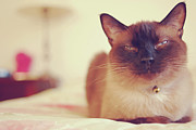 Bedroom Prints - Siamese Print by Trista Watson Photography