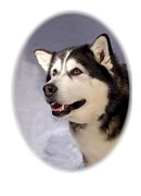 Siberian Husky Digital Art - Siberian Husky 237 by Larry Matthews