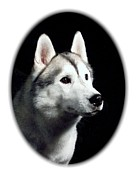 Siberian Husky Digital Art - Siberian Husky 271 by Larry Matthews