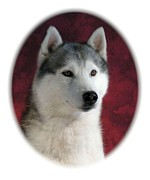 Siberian Husky Digital Art - Siberian Husky 899 by Larry Matthews
