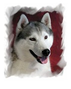 Siberian Husky Digital Art - Siberian Husky 903 by Larry Matthews