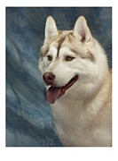 Siberian Husky Digital Art - Siberian Husky 954 by Larry Matthews