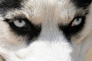Husky Prints - Siberian Husky Demon Eyes Print by Renae Frankz