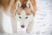 Dog Walking Framed Prints - Siberian Husky In Snow Framed Print by Jesse James Photography