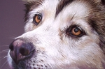 Husky Drawings Metal Prints - Siberian Husky Metal Print by Elena Kolotusha