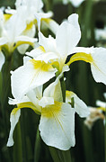 Monocotyledon Photos - Siberian Iris (iris dreaming Yellow) by Archie Young