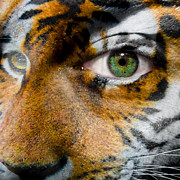 Siberian Tiger Posters - Siberian Man Poster by Semmick Photo