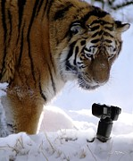 Tiger Originals - Siberian Photography by Bill Stephens