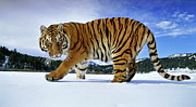 Andy Rouse and Photo Researchers - Siberian Tiger