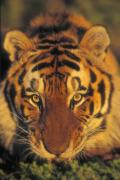 Predaceous Prints - Siberian Tiger. Captive. Kalispell Print by Thomas Kitchin & Victoria Hurst