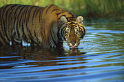 Endangered Cat Posters - Siberian Tiger Drinking In Natural Poster by Tim Fitzharris