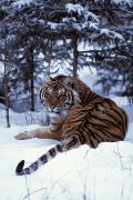 Selection Posters - Siberian Tiger Lying On Mound Of Snow Poster by Natural Selection David Ponton