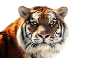 Siberian Tiger Posters - Siberian Tiger on White Poster by Julie L Hoddinott