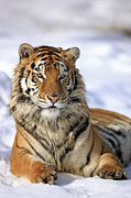 The Tiger Metal Prints - Siberian Tiger (panthera Tigris Altaica) Metal Print by Tier Und Naturfotografie J und C Sohns
