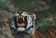 Growling Art - Siberian Tiger Panthera Tigris Bares by David Ponton