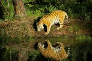 Siberian Tiger Posters - Siberian Tiger reflection Poster by Melody and Michael Watson