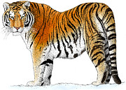 Korean Drawings Framed Prints - Siberian Tiger Framed Print by Roger Hall and Photo Researchers
