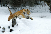 Siberian Tiger Photo Posters - Siberian Tiger Poster by Sandra Bronstein