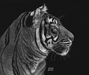 Scratchboard Drawings - Siberian Tiger by Sheryl Unwin