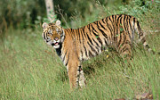 Endangered Cat Posters - Siberian Tiger Standing In Green Grass Poster by Tim Fitzharris