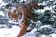 Endangered Species Metal Prints - Siberian Tiger Metal Print by Thomas and Pat Leeson and Photo Researchers