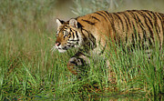 Endangered Cat Posters - Siberian Tiger Walking Through Tall Poster by Tim Fitzharris