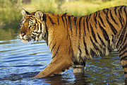 Endangered Cat Posters - Siberian Tiger Walking Poster by Tim Fitzharris