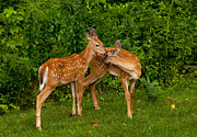 Wild Deer Prints - Sibling Love Print by Karol  Livote