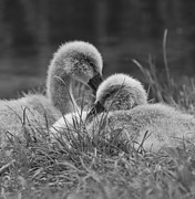 Ripples Of Black And White Prints - Siblings Print by Steven Poulton