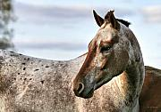 Appaloosa Framed Prints - Sid Framed Print by Deborah Benoit