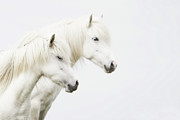 White Horse Prints - Side Face Of Two White Horse Print by Gigja Einarsdottir