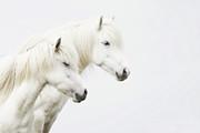 Side Face Of Two White Horse Print by Gigja Einarsdottir