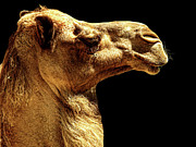 Camel Photos - Side View by Lourry Legarde