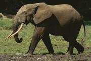 Central African Republic Photos - Side View Of An Adult Forest Elephant by Michael Fay