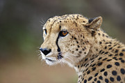 Cheetah Photos - Side View Of Focused Cheetah by Emil Von Maltitz