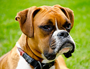 Boxer Metal Prints - Sidney The Boxer Metal Print by Chris Thaxter
