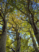 Aspens Metal Prints - Sierra Nevada Aspen Fall Color Metal Print by Scott McGuire